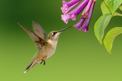 hummingbird-1056383_640