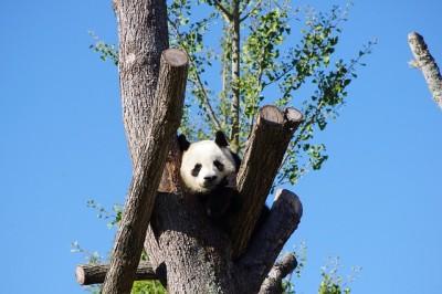 panda-642767_640